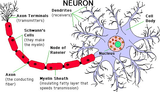 Structure of a neuron?